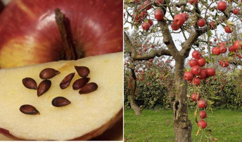 яблоня с плодами