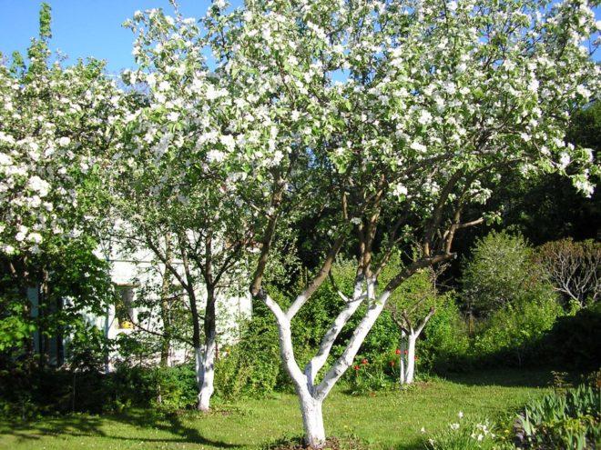 Чем обработать яблоню перед побелкой
