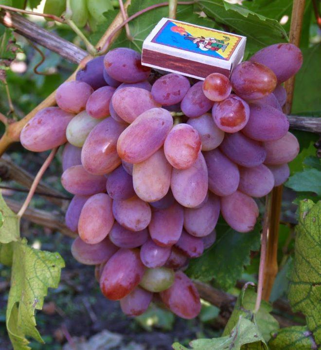 Описание сорта винограда Сенсация отличие от Сенсо и Бычьего глаза и история селекции