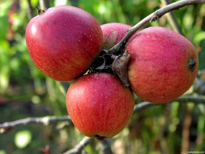 Как посадить семечки яблока дома