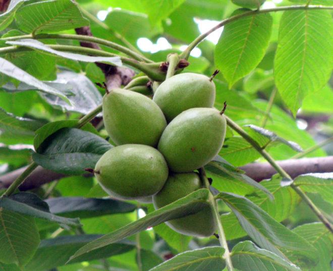Как вырастить маньчжурский орех