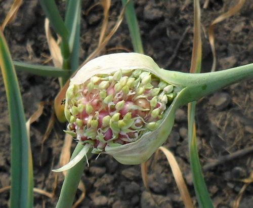 фото семена чеснока