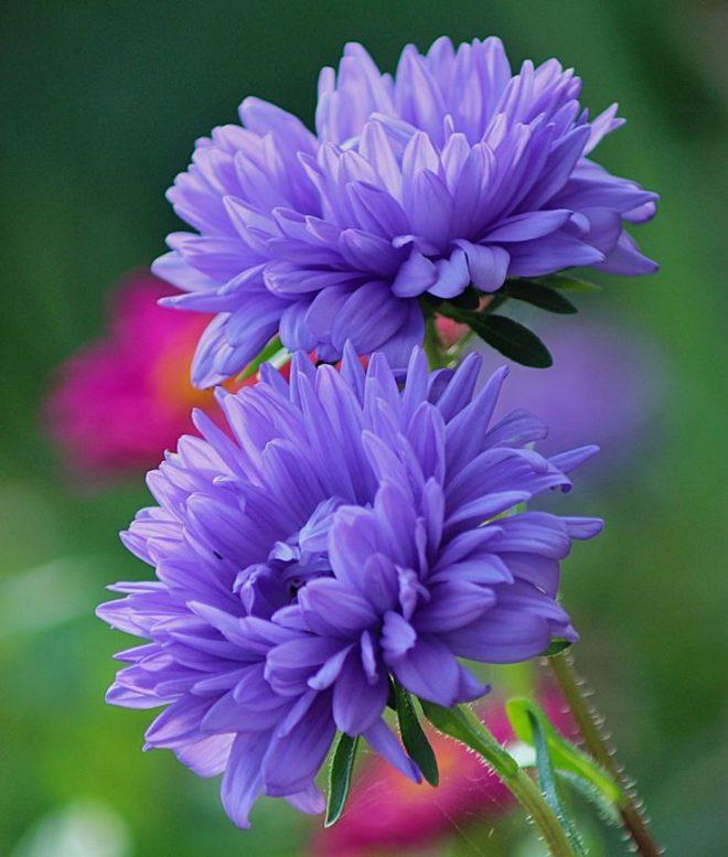цветы астры фото и картинки