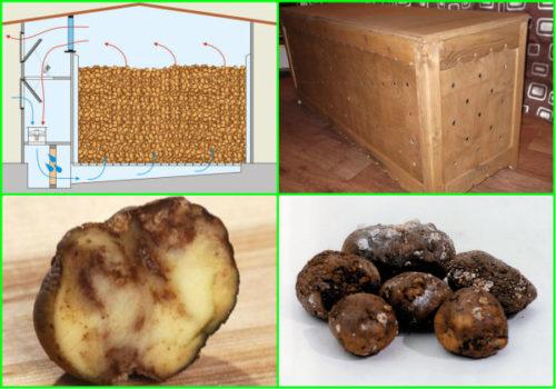 испорченный картофель