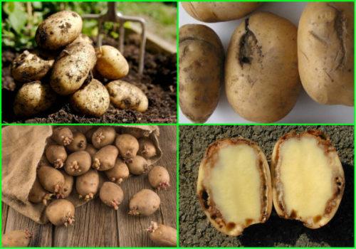 Подготовка картофеля к зимовке