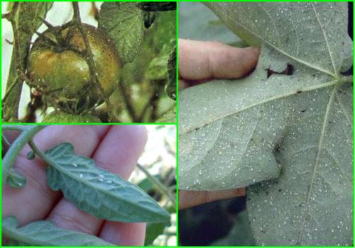 Признаки заражения растений вредителями