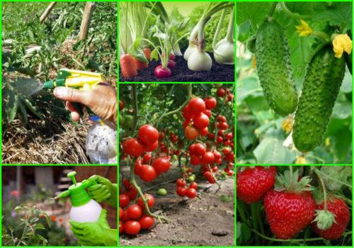 Опрыскивание овощей в открытом грунте